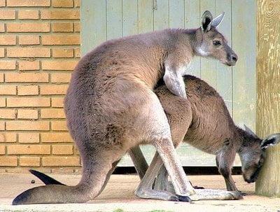 Ini Kanguru lagi sange